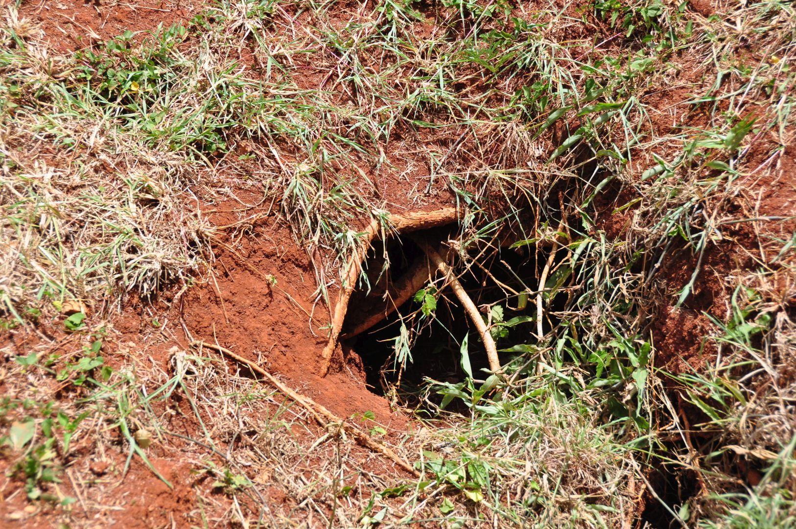 nido de iguana