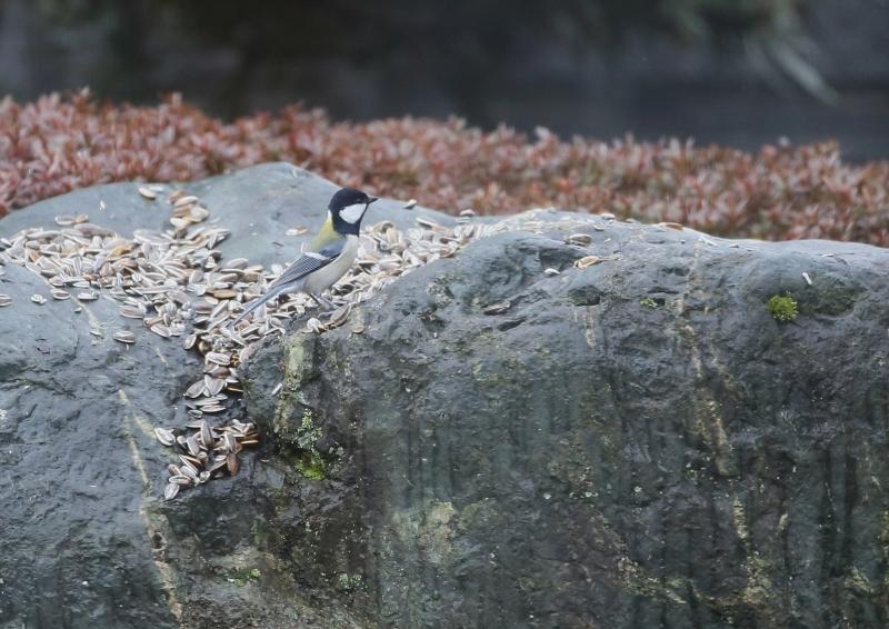 庭の小鳥①