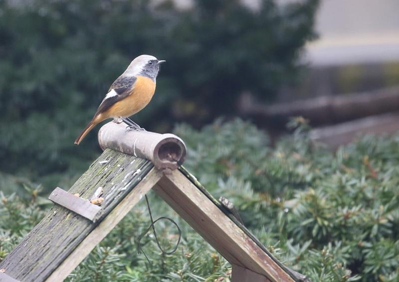 庭の小鳥⑤