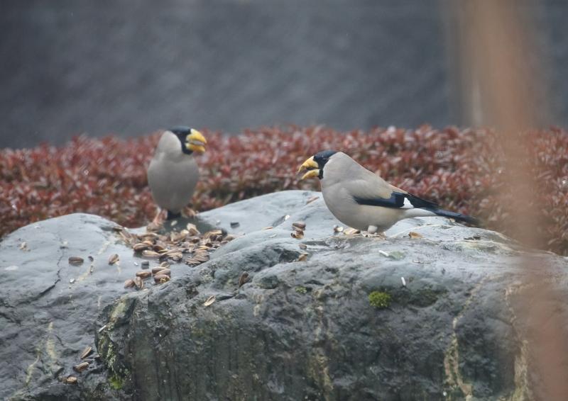 庭の小鳥②