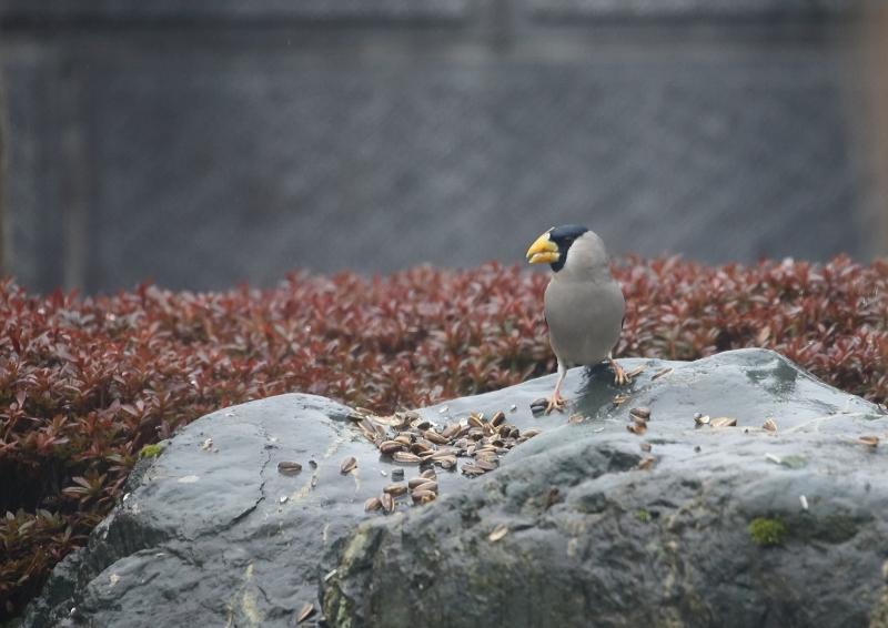 庭の小鳥④
