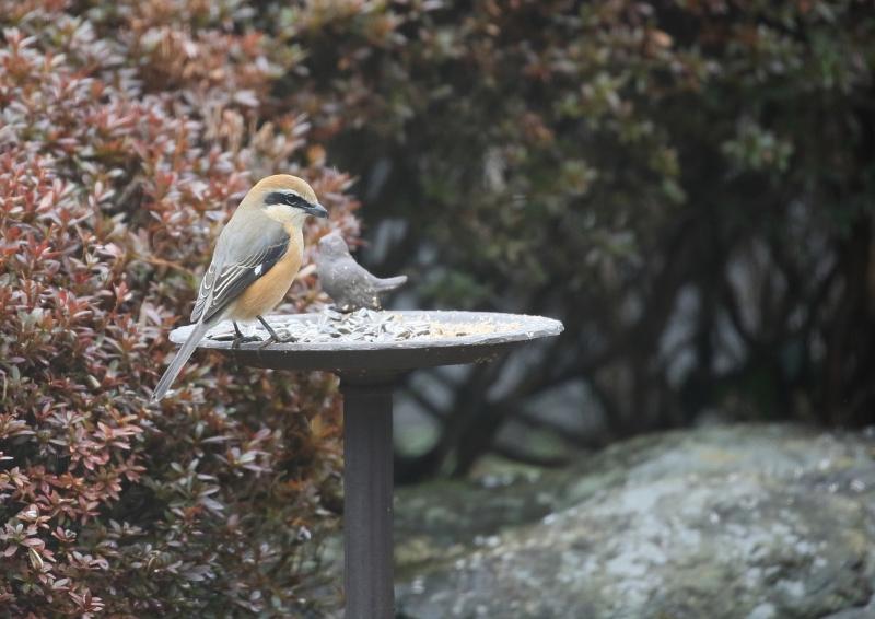 庭の小鳥⑧
