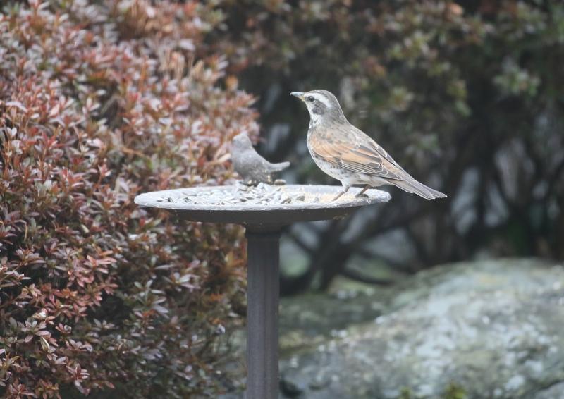 庭の小鳥⑦