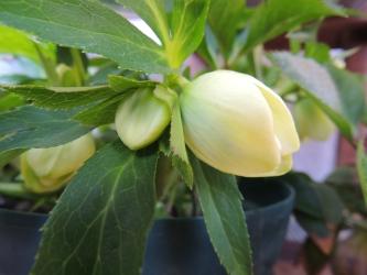 クリロー鉢植え006