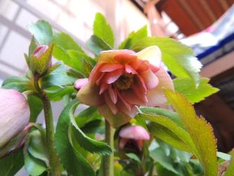 クリロー鉢植え005