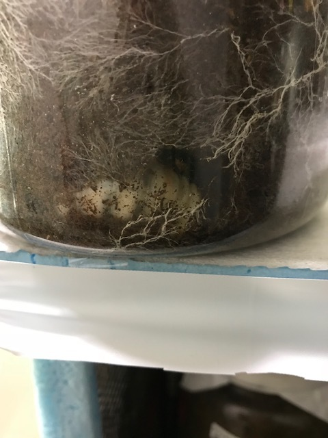 ファブリース蛹室