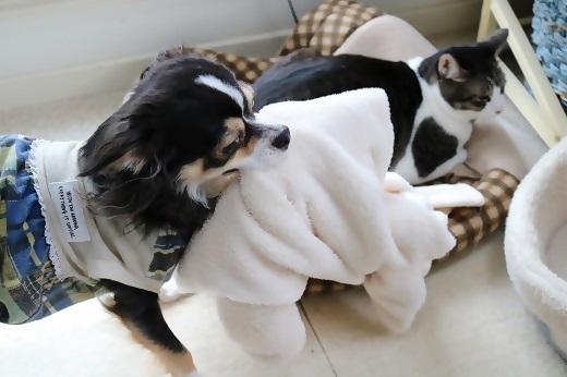 ニャンコの毛布を奪い続けるワンコ
