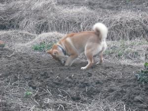 180121掘り掘りするサブ