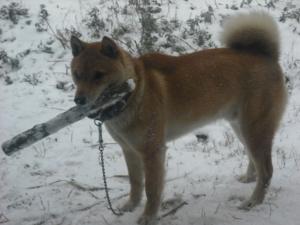 180124雪の中棒を銜えるサブ
