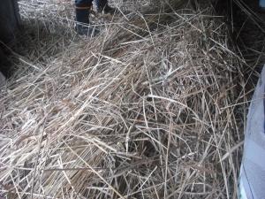 180221刈った萱の一部