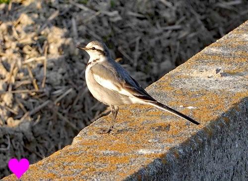 春の野鳥ハクセキレイ