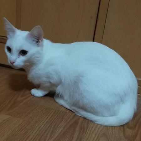 2018-02-14-茨城猫-01シルク絹メス1歳