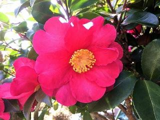 IMG_180119_1517 ご近所の花壇の寒椿_VGA