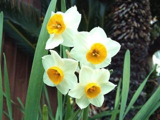 CAI_180128_5053 家の周りの花壇に咲いていた水仙_VGA