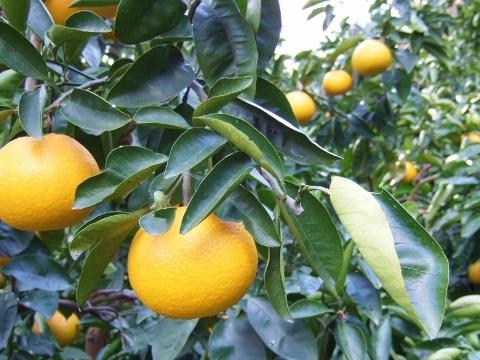 収穫量は昨年の6割弱。味は例年並みに美味しい。