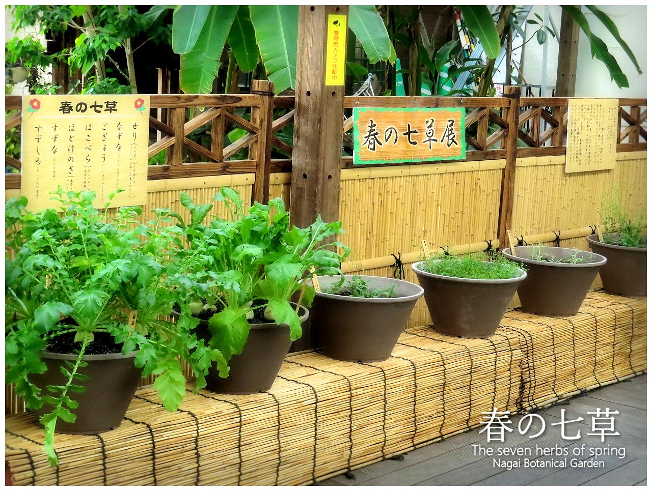 春の七草 The seven herbs of spring
