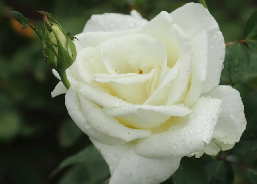 Rosa'Masayuki'