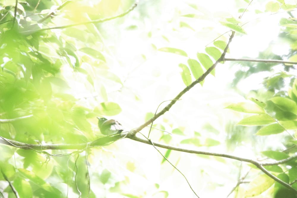 サンコウチョウ522