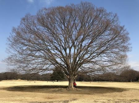 昭和記念公園の欅