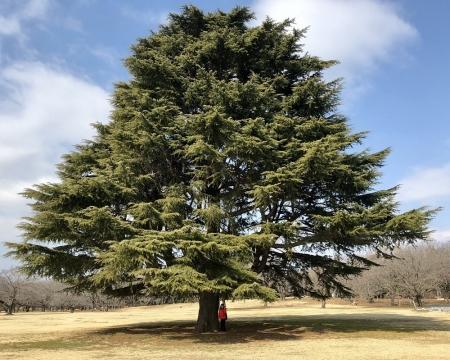 昭和記念公園のヒマラヤ杉