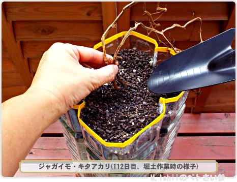 ジャガイモの試験栽培68
