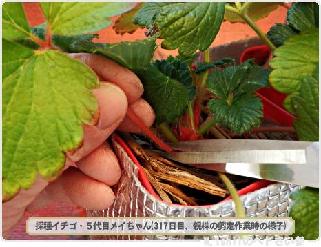 ペトさい(採種イチゴ・改)136
