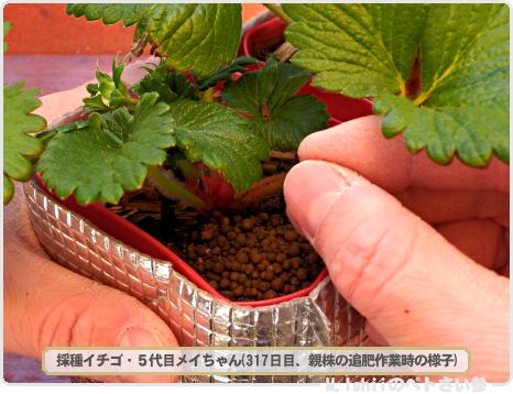 ペトさい(採種イチゴ・改)137