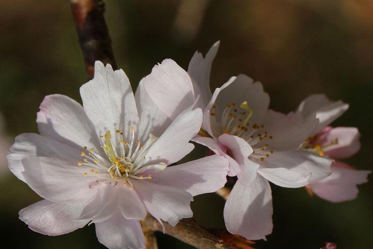 十月桜 並んで並んで 29 12 28