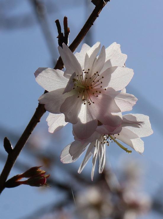 十月桜 爺神山 29 12 28