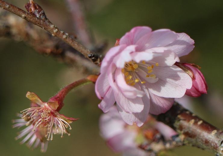 十月桜 蕾 花 散った花 29 12 28