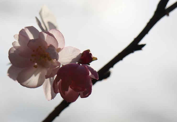 十月桜 咲きます 29 12 28