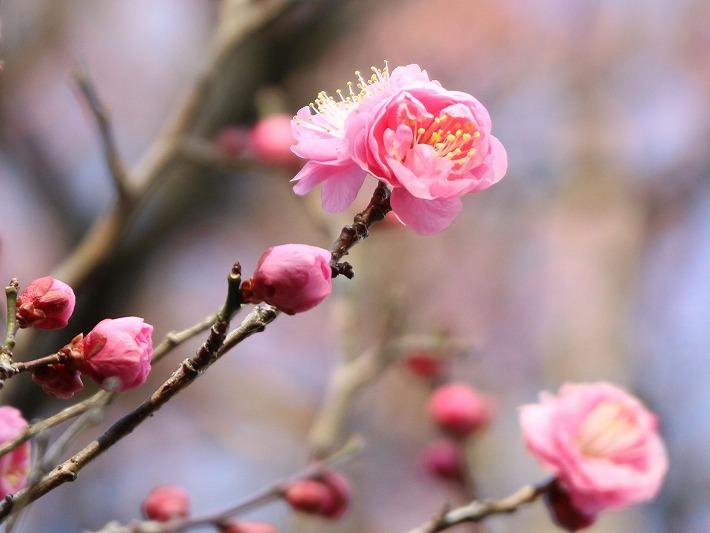 紅梅咲いてる 爺神山 30 1 27