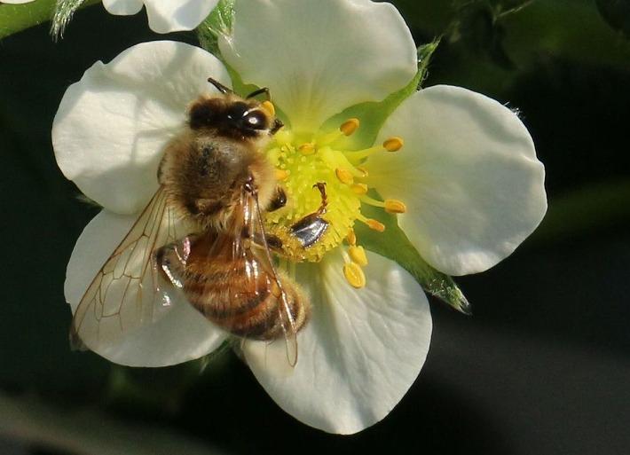 蜜蜂と白い苺の花 30 2 14