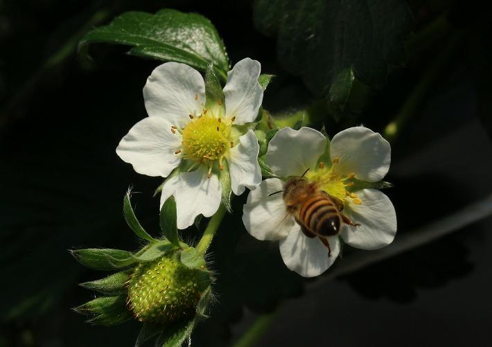 苺の花に蜜蜂ブ~ン 30 2 14