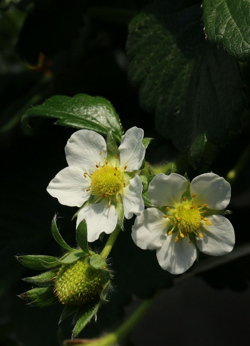 苺の花2個 縦に 30 2 14