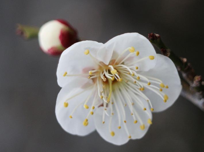 白梅蕾と花と 30 2 12
