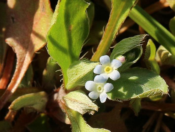 キュウリグサの花咲く 30 2 17