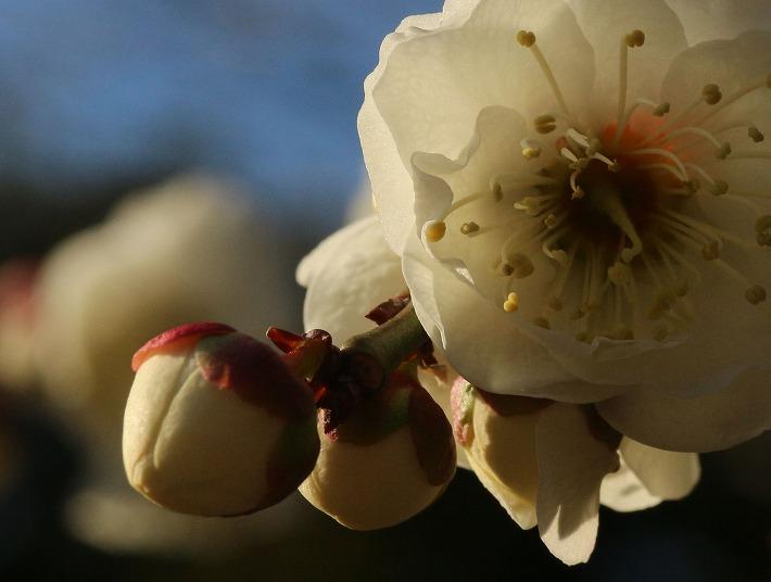 明日咲く白梅 爺神山 30 2 17
