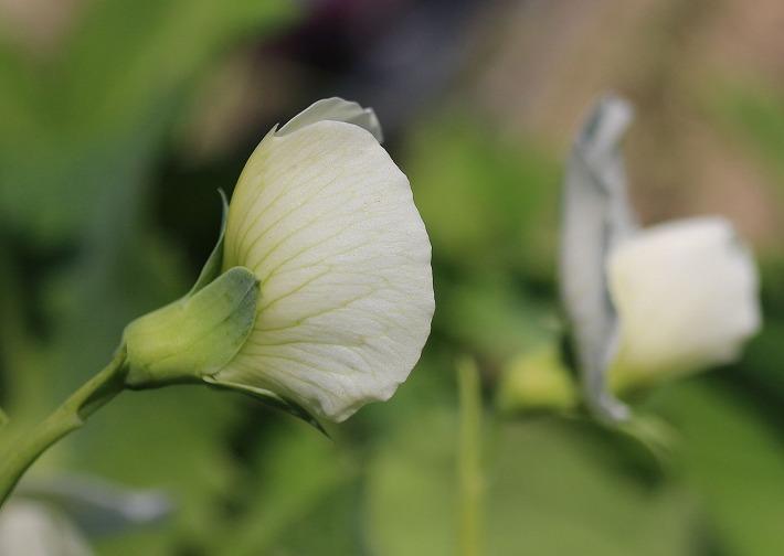 エンドウの花白い 粟島 30 2 20