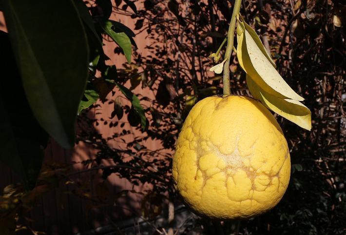初めて生った大きい蜜柑 30 2 20