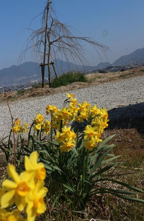 黄色い水仙 枝垂れ桜のもとに 30 2 27