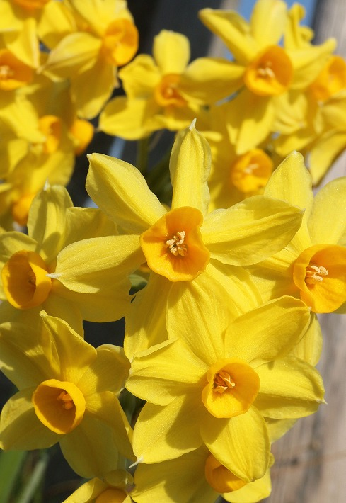 黄色い水仙満開 30 2 27