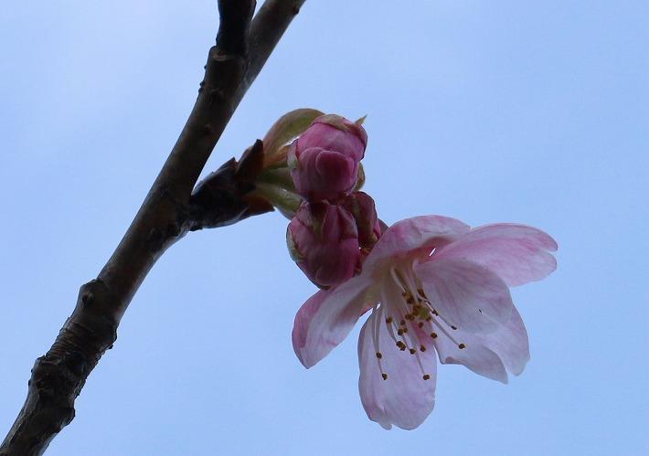 河津桜 咲き始め 爺神山 30 2 27