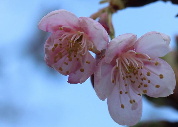 河津桜の花咲く 30 2 27