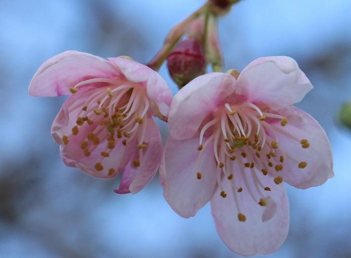 河津桜花二個 30 2 27
