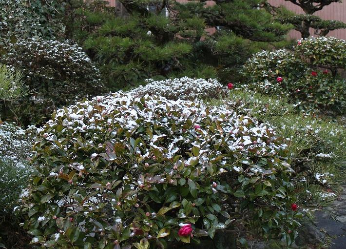 山茶花の上にも少し雪 30 2 13