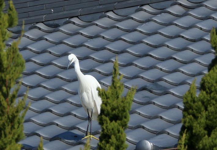 右横の屋根に飛び上る コサギ 30 1 18