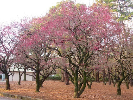 180121-202梅の木(S)