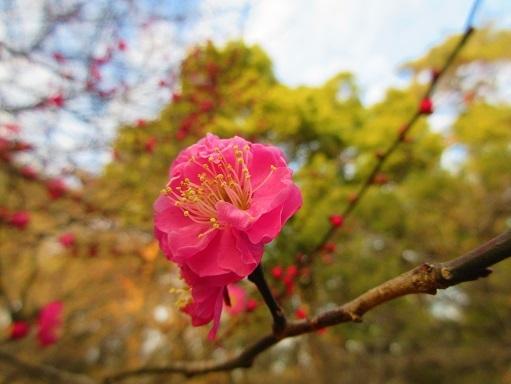 180121-203開花(S)