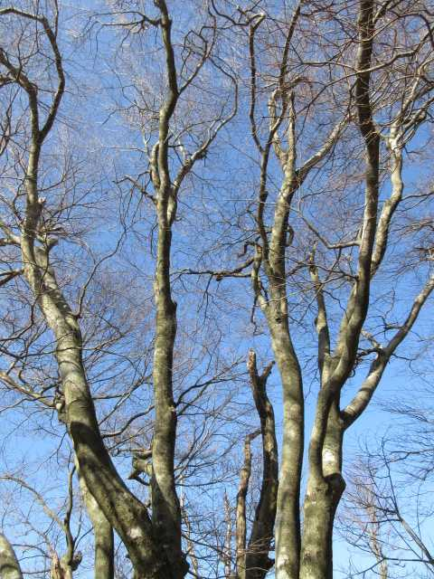 IMG3018JPGブナの大木